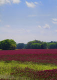 Crimson Clover Landscape. This is a field of crimson clover which is used to put nutrients back into the soil here in Alabama. The day after I took this image Royalty Free Stock Photos