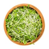 Crimson clover microgreens in wooden bowl over white Royalty Free Stock Photo