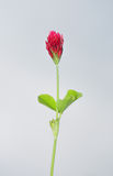 Crimson clover (Trifolium incarnatum) Royalty Free Stock Images