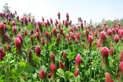 Crimson clover (Trifolium incarnatum) Royalty Free Stock Photography