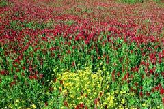 Crimson Clovers and Primrose Stock Photo
