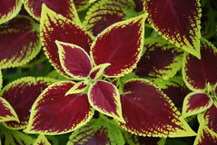 Crimson Coleus. Red and yellow Coleus (Solenostemon or Painted Nettle Royalty Free Stock Images