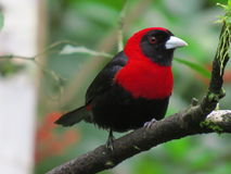 Crimson Collared Tanager-Tangara Capuchirroja-Ramphocelus sanguinolentus (2) Stock Images