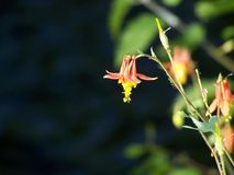 Crimson Columbine Wildflower Stock Photo