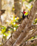 Crimson-crested Woodpecker Royalty Free Stock Images