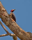 Crimson-crested Woodpecker Royalty Free Stock Photography