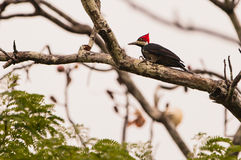Crimson-crested Woodpecker Stock Photos