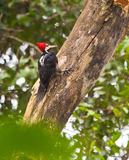 A Crimson-crested Woodpecker on a log Royalty Free Stock Images