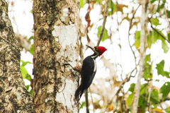 Crimson crested woodpecker on a tree Stock Photography