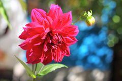 Crimson dahlia flower closeup Stock Image