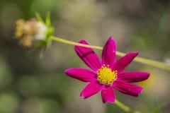 Crimson daisy Royalty Free Stock Photo