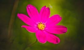 Crimson daisy Stock Photo