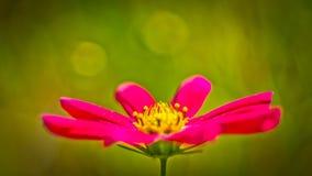 Crimson daisy Stock Photography