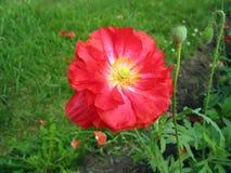 Crimson double poppy flower royalty free stock photos