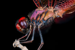 Crimson Dropwing da libélula Fotografia de Stock Royalty Free