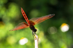 Crimson Dropwing  dragonfly Royalty Free Stock Image