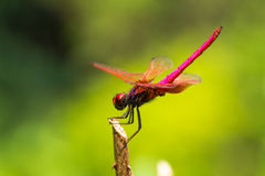Crimson Dropwing  dragonfly Royalty Free Stock Photos