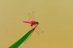 Dragonfly(Crimson Dropwing) Stock Photo