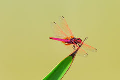 Dragonfly(Crimson Dropwing) Stock Photos