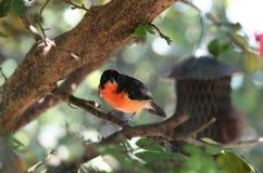 Crimson Finch Stock Image
