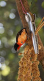 Crimson Finch Stock Photography