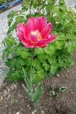 Crimson flower Royalty Free Stock Image
