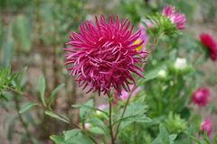 Crimson flowerhead  of china aster in september Royalty Free Stock Photos