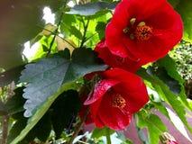Crimson flowering maple. Crimson albuteron blossom flowering maple Royalty Free Stock Photos