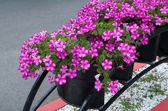 Crimson flowers bindweed black iron pot Royalty Free Stock Photo