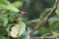 Crimson-fronted barbet Bird eat stock photography