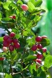 Crimson fruit or Carissa carandas.  Stock Image