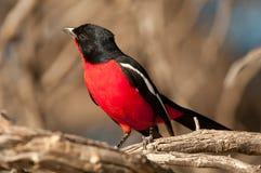 Crimson-gådd mot shrike royaltyfria bilder