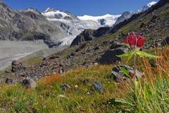 Crimson Gentian. A Crimson Gentian taken in front of the Moiry Glacier - Wallis - Switzerland Royalty Free Stock Images