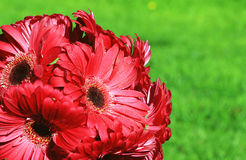Crimson gerberas against a green Stock Images