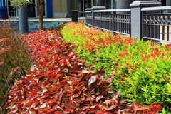 Crimson and green bushes. Crimson and green bushes lined Stock Photography