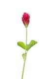 crimson incarnatumtrifolium för växt av släkten Trifolium royaltyfri foto