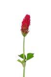 crimson incarnatumtrifolium för växt av släkten Trifolium Royaltyfria Foton
