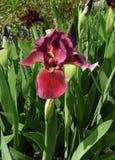 Crimson Iris Stock Photography
