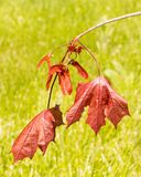 Crimson King Maple Tree red leaves and seeds. Or samaras, Springtime, Acer platanoides, invasive species, `maple keys`, `helicopters`, `whirlybirds` or ` Royalty Free Stock Photography