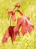 Crimson King Maple Tree red leaves and seeds. Or samaras, Springtime, Acer platanoides, invasive species, `maple keys`, `helicopters`, `whirlybirds` or ` Royalty Free Stock Photo