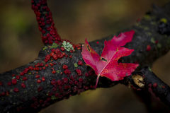 Crimson Leaf stock image