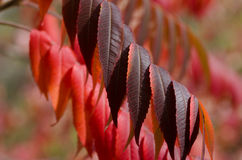 Crimson Leaves of Autumn Royalty Free Stock Photography