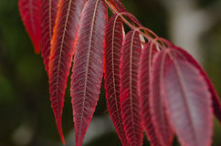 Crimson Leaves of Autumn Royalty Free Stock Images