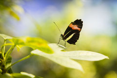 Crimson Longwing Butterfly Royalty Free Stock Images