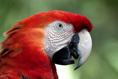 Crimson Macaw in Profile. A crimson macaw (or red parrot), stares into the camera with partially opened beak. The bird is shot in profile and its tongue is royalty free stock photo