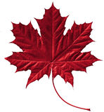 Crimson maple leaf. Close-up of a perfect crimson maple leaf isolated on pure white background stock image