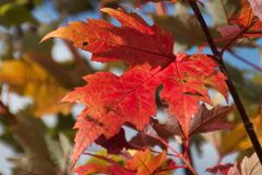 Lake Superior Maple Leaves in Autumn royalty free stock images