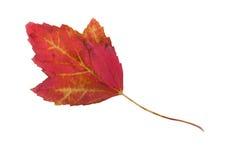 Crimson maple leaf on white Stock Photography
