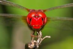 Crimson Marsh Glider Dragonfly Stock Images