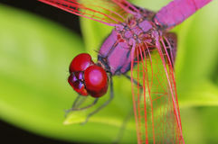 Crimson Marsh Glider dragonfly. Detail of head and thorax Royalty Free Stock Photos
